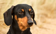The miniature dachshund - a force to be reckoned with!